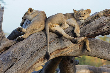 Young male lions sleeping on a dead tree - Africa savannahs,savana,savannas,shrubland,savannah,Savanna,Juvenile,immature,child,children,baby,infants,infant,young,babies,sleep,tired,exhausted,nap,asleep,snooze,nap time,sleeping,Tired,exhaustion,sleepy