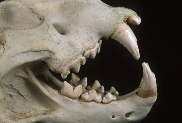 Lion skull showing carnassial teeth - Africa head,Skull,cranium,canine teeth,Canine tooth,face,Teeth,tooth,bone,bones,skeletal,Skeleton,Black background,Mouth,mouthpart,mouths,mouthparts,Lion,Panthera leo,Felidae,Cats,Mammalia,Mammals,Carnivores