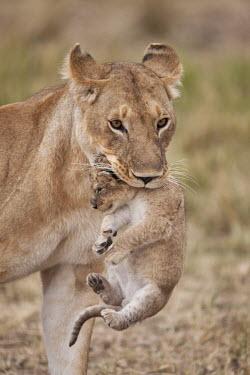 Lioness carrying cub - Kenya Lion,Panthera leo,Felidae,Cats,Mammalia,Mammals,Carnivores,Carnivora,Chordates,Chordata,Lion d'Afrique,Le�n,leo,Animalia,Savannah,Africa,Scrub,Appendix II,Asia,Panthera,Vulnerable,Desert,Terrestrial,C