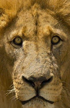 Close-up of male lion eye and face - Africa Lion,Panthera leo,Felidae,Cats,Mammalia,Mammals,Carnivores,Carnivora,Chordates,Chordata,Lion d'Afrique,Le�n,leo,Animalia,Savannah,Africa,Scrub,Appendix II,Asia,Panthera,Vulnerable,Desert,Terrestrial,C