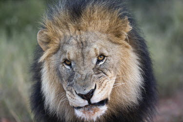 Male lion snarling - Africa boy,man,male,Portrait,face picture,face shot,blur,selective focus,blurry,depth of field,Shallow focus,blurred,soft focus,Facial portrait,face,Close up,Lion,Panthera leo,Felidae,Cats,Mammalia,Mammals,C