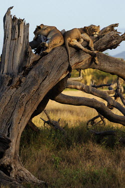 Young male lions sleeping on a dead tree - Africa Juvenile,immature,child,children,baby,infants,infant,young,babies,boy,man,male,savannahs,savana,savannas,shrubland,savannah,Savanna,Tired,exhaustion,exhausted,sleepy,lazy,resting,rested,rest,sleep,tir
