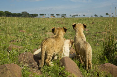 White and tawny Lion cubs watching waterbucks in the distance - Africa play,entertained,entertaining,playing,entertainment,Playful,positive,family,Siblings,sibling,Juvenile,immature,child,children,baby,infants,infant,young,babies,Offspring,Cub,cubs,cute,Lion,Panthera leo