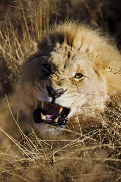Male lion snarling in long grass - Africa Lion,Panthera leo,Felidae,Cats,Mammalia,Mammals,Carnivores,Carnivora,Chordates,Chordata,Lion d'Afrique,Le�n,leo,Animalia,Savannah,Africa,Scrub,Appendix II,Asia,Panthera,Vulnerable,Desert,Terrestrial,C