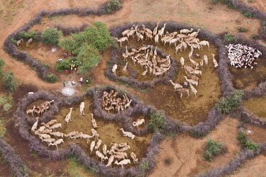 Aerial view of camels owned by the Rendille tribe, enclosed and segregated with thorn-barriers - Northern Kenya Camel,Camelus dromedaries