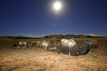 Camels used for tourist trek rest under the full moon - Morocco, Africa Camel,Camelus dromedaries