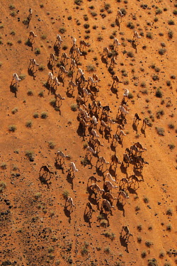 Aerial view of group of camels walking across the desert - Africa Camel,Camelus dromedarius,Mammalia,Mammals,Chordates,Chordata,Even-toed Ungulates,Artiodactyla,Camelidae,Camels