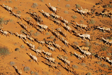 Aerial view of group of camels walking across the desert - Africa dry,Arid,Sand,Xeric,Desert,environment,ecosystem,Habitat,sand dunes,dunes,Sand dune,dune,Orange background,Terrestrial,ground,herds,gamming,Herd,herding,assemble,Camel,Camelus dromedarius,Mammalia,Mam