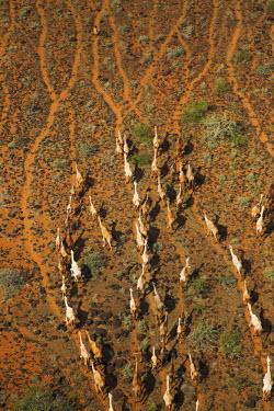 Aerial view of group of camels - Kenya, Africa Camel,Camelus dromedaries