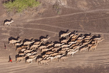 Aerial view of camels being herded by the Rendille tribe - Northern Kenya herds,gamming,Herd,herding,assemble,environment,ecosystem,Habitat,Terrestrial,ground,Xeric,Desert,farm animal,Livestock,dry,Arid,Camel,Camelus dromedaries