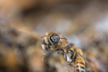 Close up of a honey bee in its colony - Bristol, UK bee,bees,honey bee,bee keeper,bee keeping,honey,macro,close up,insect,insects,hive,Honey bee,Apis mellifera,Sawflies, Ants, Wasps, Bees,Hymenoptera,Insects,Insecta,Arthropoda,Arthropods,Bumble Bees, H