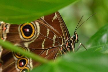 Close up of a common blue morpho butterfly - ZSL, UK face,eyes,Eye,Macro,macrophotography,Close up,wings,wing,winged,Common morpho,Common blue morpho,butterfly,Animalia,Arthropoda,Insecta,Lepidoptera,Nymphalidae,Morpho,Morpho helenor,ringlets,pattern,ma