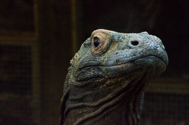 A komodo dragon with it's head raised komodo,dragon,lizard,face,portrait,close up,scales,eyes,looking,watching,Komodo dragon,Varanus komodoensis,Varanidae,Monitors,Reptilia,Reptiles,Squamata,Lizards and Snakes,Chordates,Chordata,Komodo mo