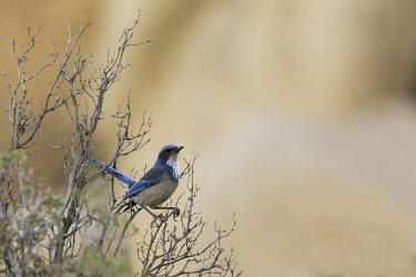 A Western (or Californian) scrub-jay perched in a dry bush - California, USA Western Scrub-jay,California Scrub-Jay,Animalia,Chordata,Aves,Passeriformes,Corvidae,Aphelocoma,Aphelocoma californica,jay,bird,birds,blue,shallow focus,portrait,pretty,perched,perching