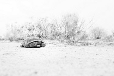 A desert tortoise, found only in the Mojave and Sonoran deserts of South West American and Northern Mexico crawl,Crawling,shell,Xeric,Desert,colours,color,colors,Colour,Black and White,black + white,monochrome,black & white,Terrestrial,ground,coloration,Colouration,blur,selective focus,blurry,depth of fiel