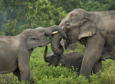 Asian elephants intercating with one another - India family,greeting,affection,trust,herd,tusk,calf,mother,behaviour,communication,touch,Asian elephant,Elephas maximus,Mammalia,Mammals,Elephants,Elephantidae,Chordates,Chordata,Elephants, Mammoths, Masto