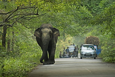 An Asian elephant on a road passing through Gorumara national park - India elephant,road,roadside,habitat,migration,crossing,humans,people,traffic,car,Asian elephant,Elephas maximus,Mammalia,Mammals,Elephants,Elephantidae,Chordates,Chordata,Elephants, Mammoths, Mastodons,Pro