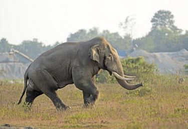 A tusker Asian elephant in musth - West Bengal, India elephant,tusk,tusks,bull,musth,season,hormones,trunk,Asian elephant,Elephas maximus,Mammalia,Mammals,Elephants,Elephantidae,Chordates,Chordata,Elephants, Mammoths, Mastodons,Proboscidea,Indian elephan