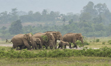 Elephant herd crossing Mechi river - Indian Nepalese border river,crossing,migration,path,water,herd,family,travel,elephant,elephants,Asian elephant,Elephas maximus,Mammalia,Mammals,Elephants,Elephantidae,Chordates,Chordata,Elephants, Mammoths, Mastodons,Probo