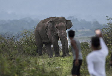 Stand-off between an Asian elephant and villagers - India elephant,tusk,tusks,bull,guarding,guard,defend,protect,conflict,defense,defensive,humans,human,interaction,Asian elephant,Elephas maximus,Mammalia,Mammals,Elephants,Elephantidae,Chordates,Chordata,Ele