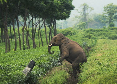 Asian elephant crossing a tea plantation - West Bengal, India elephant,plantation,tea,garden,crossing,path,migration,conflict,Asian elephant,Elephas maximus,Mammalia,Mammals,Elephants,Elephantidae,Chordates,Chordata,Elephants, Mammoths, Mastodons,Proboscidea,Ind