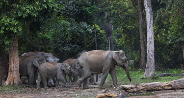 A herd of Asian elephants passing through the Buxa tiger reserve - West Bengal, India herd,elephants,family,elephant,forest,reserve,Asian elephant,Elephas maximus,Mammalia,Mammals,Elephants,Elephantidae,Chordates,Chordata,Elephants, Mammoths, Mastodons,Proboscidea,Indian elephant,Elefa