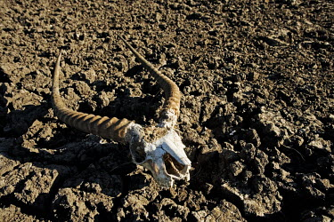 Lechwe horns on the dried out plains of Kafue flats - Zambia Floodwater,Rains,Parched,Dried,Cracked land,Mud,Landscape,Seasonal,River flats,Horns,Skull,Antelope,Drought