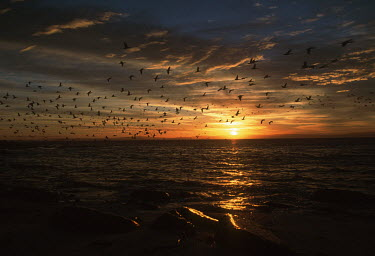 Cape cormorant fly at sunrise over Dassen Island - Dassen Island, South Africa Sunset,Red,Colour,Birds,Flying,Coastal,Dramat,Cloud formation,Island