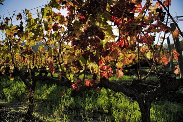 The sun shines through grapevine leaves in Autumn - Stellenboch, South Africa Autumn,Sunlight,Vines,Leaves,Red,Yellow,Harvest,Crop