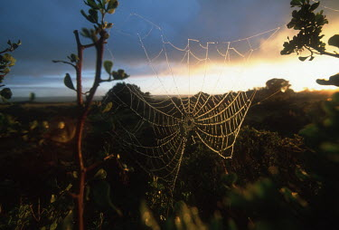 Dew-covered cobweb at dawn - South Africa Spider's web,Cobweb,Dew,Dawn,Sunrise,Light,Branches,Forest