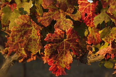 Grapevine leaves in autumn colours - South Africa Autumn,Sunlight,Vines,Leaves,Red,Yellow,Harvest,Crop,Fertile,Land,Farming