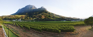 View along grapevines with mountains in the background - South Africa Sunlight,Vines,Leaves,Harvest,Crop,Green,Rows,Ordered,Fertile,Land,Farming,Mountains