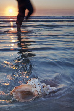 Shell of a predatory mollusc in the shallows with unidentified person walking in the background - South Africa Mollusc,Shell,Smooth,Design,Sea,Ocean,Washed ashore,Paddling,Sunset