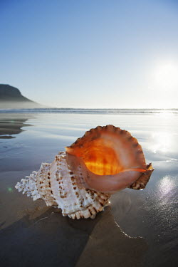 Shell of a predatory mollusc on the sea shore - South Africa Mollusc,Shell,Smooth,Design,Sea,Ocean,Washed ashore,Beach,Coastal