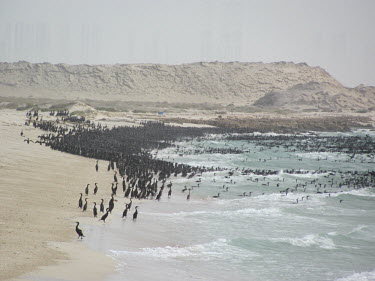Thousands of socotra cormorants on the coast, entering and exiting the water - United Arab Emirates cormorant,bird,sea bird,colony,birds,Socotra cormorant,Phalacrocorax nigrogularis,Phalacrocoracidae,Cormorants,Ciconiiformes,Herons Ibises Storks and Vultures,Pelicans and Cormorants,Pelecaniformes,Ch