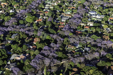 Aerial view of tree-lined Johannesburg suburbs - Johannesburg, South Africa Aerial,Landscape,City,Suburbs,Road,Buildings,Houses,Neighbourhood,Trees,Rooftops,Settlement,Tree-lined,Colourful,Purple,Colour