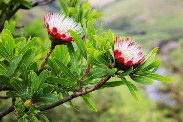 Close up of the flowers of Protea caffra - South Africa Flowering,Flower,Colour,Green,Pink,Red,Tree,Shrub,Landscape,scenic,scenery,beauty in nature,natural world,non-urban scene,nature,outdoors,Protea caffra,Close up of the flowers of Protea caffra