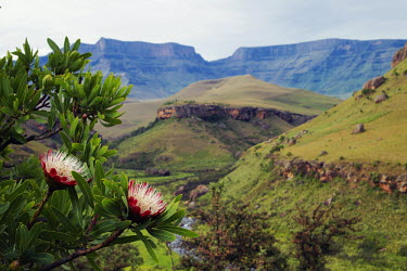 The small tree Protea caffra on a rocky ridge - South Africa photography,colour image,color image,no people,horizontal,day,front view,Africa,African,Southern Africa,scenic,scenery,beauty in nature,natural world,non-urban scene,nature,outdoors,Flower,Shrub,Strea