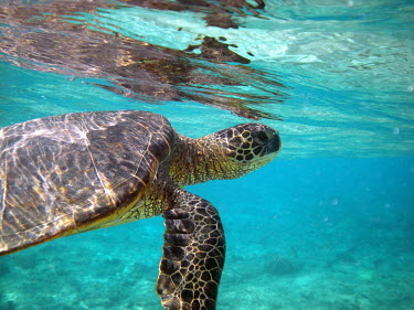 A green turtle swimming toward the surface for air turtle,underwater,reptile,marine,Green turtle,Chelonia mydas,Chordates,Chordata,Reptilia,Reptiles,Turtles,Testudines,Sea Turtles,Cheloniidae,Tortue Verte,Tortuga Verde,Tortuga Blanca,Tortue Comestible