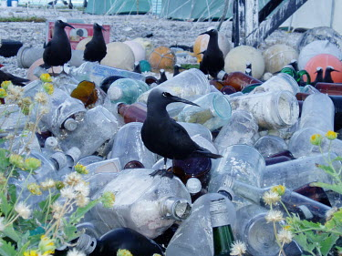 Black noddy's investiagting a bottle recycling collection noddy,bird,birds,sea bird,recycling,recycling site,glass,bottle,bottles,Black noddy,Anous minutus,Laridae,Gulls, Terns,Chordates,Chordata,Charadriiformes,Shorebirds and Terns,Aves,Birds,Ciconiiformes,