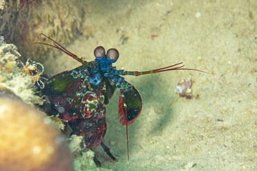 Peacock Mantis Shrimp portrait front view - Tanzania Peacock Mantis Shrimp,Odontodactylus scyllarus