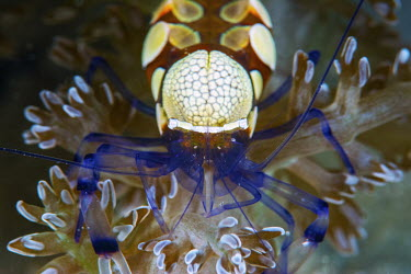 Peacock-tail anemone shrimp portrait - Tanzania Peacock-tail Anemone Shrimp,Periclimenes brevicarpalis