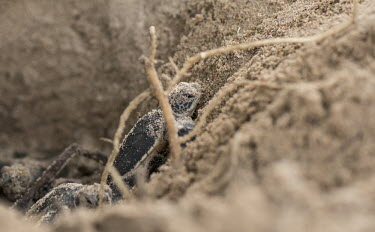 Green turtle hatchling on the sand - Tanzania Green turtle,Chelonia mydas,Chordates,Chordata,Reptilia,Reptiles,Turtles,Testudines,Sea Turtles,Cheloniidae,Tortue Verte,Tortuga Verde,Tortuga Blanca,Tortue Comestible,Tortue Franche,Atlantic,mydas,Aq