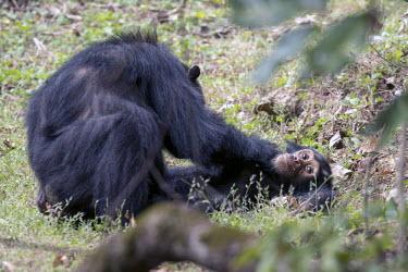 Female chimpanzee grooming a younger individual on the ground - Tanzania Chimpanzee,Pan troglodytes,Hominids,Hominidae,Chordates,Chordata,Mammalia,Mammals,Primates,Chimpanc�,Chimpanz�,Endangered,Africa,Animalia,Tropical,Appendix I,Arboreal,Pan,Terrestrial,Omnivorous,troglo