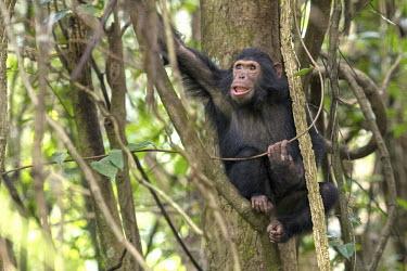 Adolescent chimpanzee sitting in a tree - Tanzania Chimpanzee,Pan troglodytes,Hominids,Hominidae,Chordates,Chordata,Mammalia,Mammals,Primates,Chimpanc�,Chimpanz�,Endangered,Africa,Animalia,Tropical,Appendix I,Arboreal,Pan,Terrestrial,Omnivorous,troglo