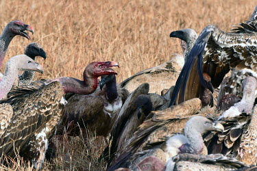 Group of white-headed vultures feeding - Tanzania White-headed vulture,Gyps africanus,Accipitridae,Hawks, Eagles, Kites, Harriers,Falconiformes,Hawks Eagles Falcons Kestrel,Aves,Birds,Chordates,Chordata,African white-backed vulture,Vautoir africain,G