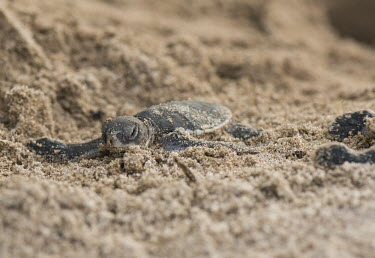 Green turtle hatchling on the shoreline - Tanzania Green turtle,Chelonia mydas,Chordates,Chordata,Reptilia,Reptiles,Turtles,Testudines,Sea Turtles,Cheloniidae,Tortue Verte,Tortuga Verde,Tortuga Blanca,Tortue Comestible,Tortue Franche,Atlantic,mydas,Aq