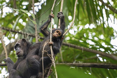 Female and young chimpanzee in a tree - Tanzania Chimpanzee,Pan troglodytes,Hominids,Hominidae,Chordates,Chordata,Mammalia,Mammals,Primates,Chimpanc�,Chimpanz�,Endangered,Africa,Animalia,Tropical,Appendix I,Arboreal,Pan,Terrestrial,Omnivorous,troglo