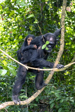 Female carrying a young chimpanzee on her back through the canopy - Tanzania Chimpanzee,Pan troglodytes,Hominids,Hominidae,Chordates,Chordata,Mammalia,Mammals,Primates,Chimpanc�,Chimpanz�,Endangered,Africa,Animalia,Tropical,Appendix I,Arboreal,Pan,Terrestrial,Omnivorous,troglo