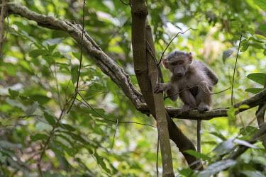 A juvenile baboon sitting in a tree - Tanzania Baboon,Papio ursinus,Old World Monkeys,Cercopithecidae,Chordates,Chordata,Mammalia,Mammals,Primates,Cape baboon,ursinus,Omnivorous,Rock,Appendix II,Least Concern,Africa,Animalia,Arboreal,Papio,Sub-tro